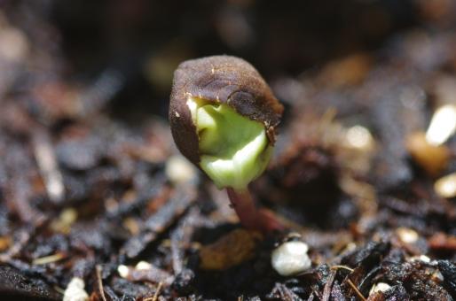 朝顔 アサガオ 芽生え フタバ 種