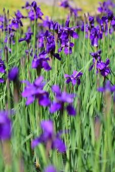 菖蒲 アヤメ 5月 こどもの日 花 植物 横位置 余白 紫 さつき 公園 花壇