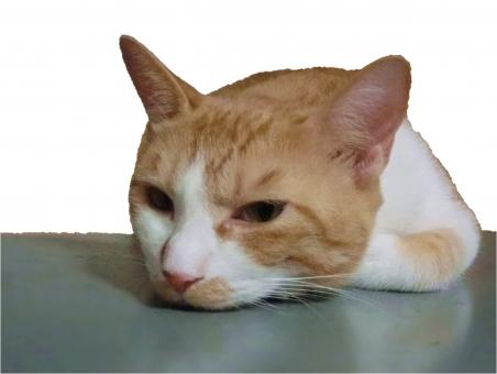 猫 ネコ 愛猫 寝そべった 茶 白 ピンクの鼻 退屈 つまらない 顔 表情 うつろ すねた ヒゲ 耳 アップ 接写 怒った ふて寝 やる気なし 家猫 飼い猫 室内猫 ペット 動物 かわいい 1匹 ほっといてくれ れん