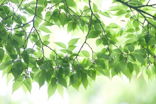 自然 風景 植物 樹木 木の葉 緑の葉っぱ 葉っぱ 新緑 若葉 光 光透過光 新芽の季節 新鮮な 初夏イメージ 初夏 夏 森林 公園 暑中見舞い ポストカード 待ち受け画像 コピースペース 背景 バックスペース 爽やかイメージ みずみずしい 季節感 木漏れ日 目に青葉