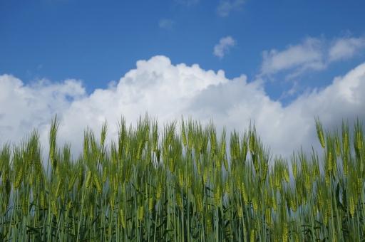 麦畑の写真