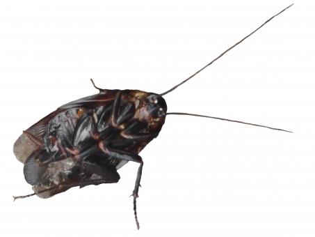 ごきぶりホイホイ キャー 自然 アップ 野生 森 ムシ 虫 生き物 1匹 羽 昆虫 害虫 可愛い ほのぼの 殺虫剤 動く 駆除 気持ち悪い 怖い 仰向け 触角 ゴキブリ ごきぶり カサカサ ギザギザ 黒 植物 切り抜き 切り取り 背景白 不清潔 汚い 不潔 退治 ゴキブリ駆除 ゴキブリ退治