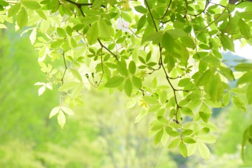 輝き 木漏れ日 庭 ソフト 木の葉 はっぱ 小枝 エコロジー eco 森林浴 いやし リラックス リラクゼーション やすらぎ 安らぎ 健康 美容 背景 テクスチャ テクスチャー きらめき キラメキ 揺らぎ 空気 新緑 キラキラ バックイメージ 青葉 若葉 春 緑 夏 初夏 光 明るい イメージ 5月 背景素材 樹木 木 爽快 風景 景色 ミドリ 屋外 戸外 黄緑 風 そよ風 マイナスイオン 8月 6月 7月 7月 8月 9月 10月 優しさ やさしい 優しい 癒し 4月 四月 りラックス バック バックグラウンド 背景画像 背景写真 4月 清潔 清涼 みどり 五月 六月 葉 壁紙 素材 コピースペース 葉っぱ テキストスペース 爽やか さわやか 5月 6月 清々しい 公園 涼しい 涼しげ 涼感 清涼感 自然 植物 グリーン エコ 環境