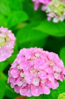 紫陽花 あじさい アジサイ 6月 植物 咲く 葉 緑 葉っぱ 花 はっぱ ボケ 庭園 公園 庭 ガーデン ガーデニング 青 青紫 ブルー 花びら 境内 寺 お寺 石畳 ピンクのあじさい