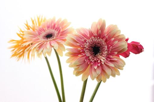 お花     ガーベラ 黄色     花      植物     花びら     無人     フラワー 逆光 白バック コピースペース 複数