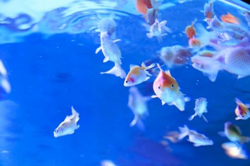 金魚 きんぎょ キンギョ 水槽 水族館 青 水 夏 波紋 魚 鑑賞 アクアリウム 祭 祭り まつり 金魚すくい 背景