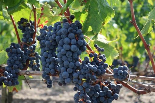 ぶどう 無料 夏 畑 自然 ワイン 赤ワイン 白ワイン 木 天気