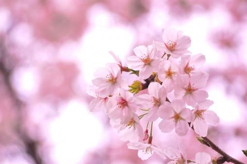 満開桜の写真