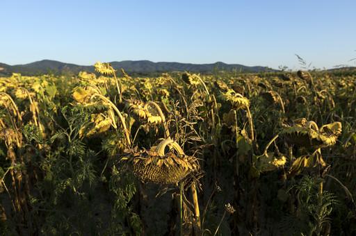 静か 風景 大自然 自然 環境 問題 エコ 活動 リーフ  草 茂る セルビア 緑 グリーン 晴れ 奥行き 喉か 平和 植物 ヒマワリ 向日葵 ひまわり 枯れる うつむく 背を向ける 広大 大地 一面 咲き乱れる 快晴 晴天
