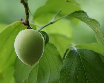 梅 植物 梅の実 ウメ 梅酒 梅干し 緑 グリ-ン 背景 テクスチャ 春 春の実