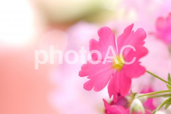愛らしい桜草の写真