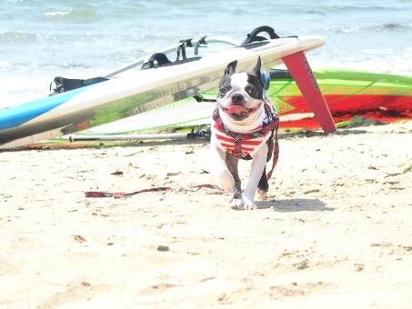 犬 わんこ ボストンテリア サーフィン 海 砂浜 犬と海 楽しい犬 犬の笑顔 犬の散歩 犬の笑い顔 かわいい犬 海の散歩 楽しいお散歩 楽しそうな犬 夏と犬 夏