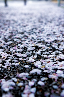 サクラの絨毯の写真