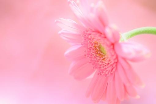 ガーベラ 花 植物 背景 ピンク 桃色 アレンジ 春 秋 壁紙 文字スペース 明るい ハイライト クローズアップ アップ 接写 一輪 1輪 1本 一本 ひとつ 一つ 花びら ふんわり