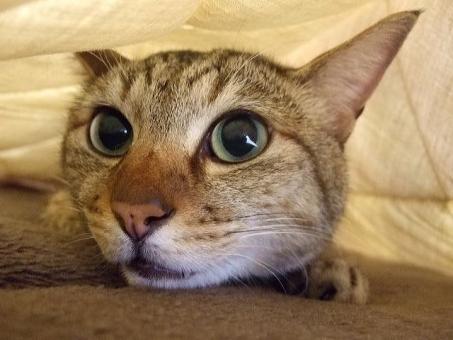 猫 ネコ ねこ 愛猫 隠れる 逃げる ひそめる もぐる くつろぐ リラックス 寝そべる 顔 アップ 大きな目 輝く瞳 こっそり ひっそり 快適空間 家猫 飼い猫 室内猫 1匹 かわいい 動物 ラグ 寝そべった 表情 ちゃこ かくれる 目を開けた