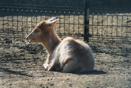 satochi サトチ ヤギ 山羊 goat 動物 animal 動物園 zoo 天王寺動物園 天王寺 osaka 大阪 やぎ どうぶつ ドウブツ どうぶつえん ドウブツエン てんのうじどうぶつえん てんのうじ tennouji tennoji おおさか オオサカ