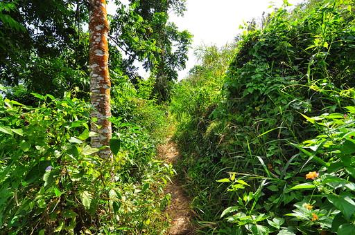 自然 植物 草 雑草 野草 野生 葉 葉っぱ 緑 木 樹木 鬱蒼 密集 集まる 成長 育つ 伸びる 生える 林 森 森林 山奥 幹 枝 土 小道 山道 空 風景 景色 フィリピン 外国 熱帯 南国 東南アジア 島国 木漏れ日 陽射し 影