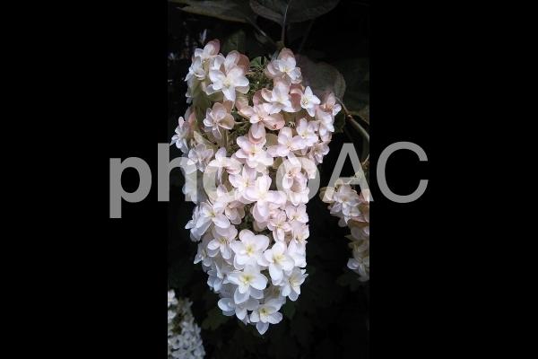 白と薄ピンクのカシワバアジサイ の写真