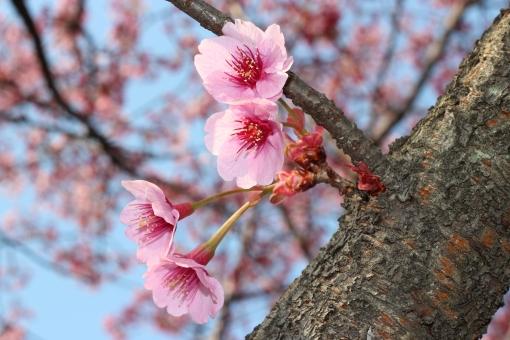 桜 サクラ ピンク 入学式 入園式 入社式 お花見 花見 春 花 植物 バラ科
