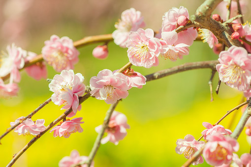 自然 植物 花 花びら ピンク色 桃色 梅 枝 つぼみ 多い 沢山 密集 集まる 成長 育つ 満開 開花 咲く 開く 枝垂れ 垂れる ぼやける ピンボケ アップ 加工 無人 室外 屋外 風景 景色 春 見頃 可愛い 鮮やか 綺麗 華やか 美しい 幻想的