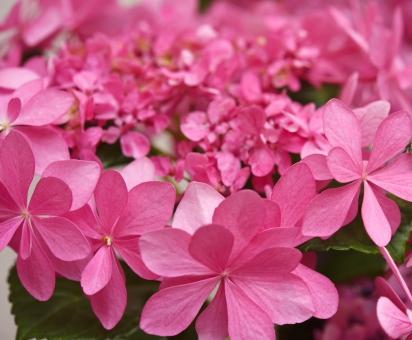 アジサイ あじさい 紫陽花 ダンスパーティー 新種 八重咲きガクアジサイ ピンク 植物 花びら 花 クローズアップ 背景素材 母の日 バレンタイン 結婚 記念日 お祝い 祝福