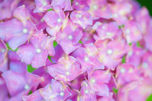 自然 植物 花 花びら ピンク 桃色 紫 小花 満開 開く 咲く 開花 成長 育つ 集まる 密集 多い 沢山 ぼやける ピンボケ あじさい アジサイ 紫陽花 重なる 加工 無人 室外 屋外 風景 景色 幻想的