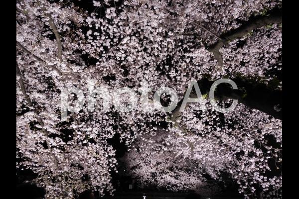 夜桜5の写真