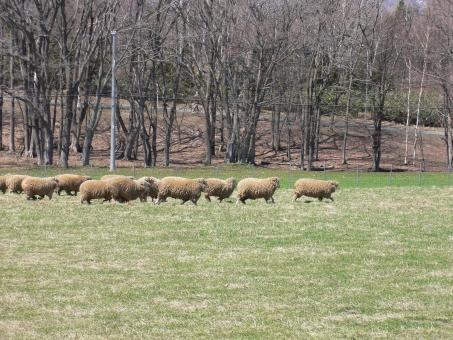 羊 ひつじ ヒツジ シープ 家畜 動物 陸上動物 哺乳類 動物園 飼育 羊毛 毛 屋外 外 生き物 生物 自然 牧場 ウール ラム 羊肉 マトン アニマル 干支 未年 酪農 農場 牧草 草 食べる 横向き 緑 グリーン 野外 群れ