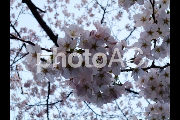 Sakura1の写真