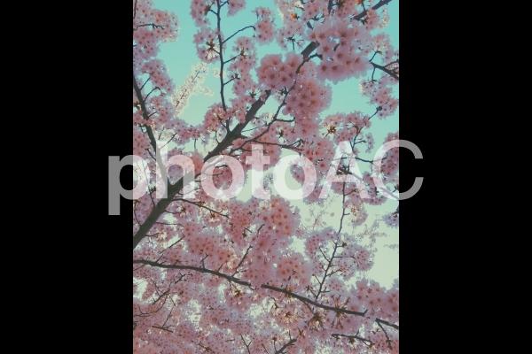 桜と空の写真