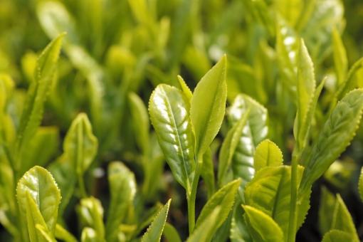 茶 新茶 茶畑 5月 新緑 芽 greentea 茶の芽 煎茶 日本茶 せん茶 初夏 和 新芽 八十八夜