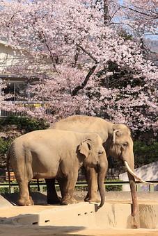 像 ぞう ゾウ 動物 生き物 動物園 飼育 春 桜 花 鼻 長い鼻 ピンク 桃色 桃色の花 満開 屋外 外 綺麗 哺乳綱ゾウ目 長鼻目 ゾウ科 象牙 横顔 自然