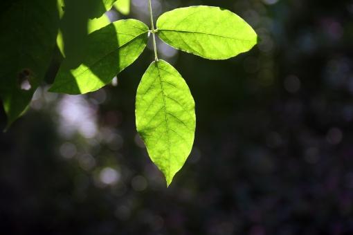 光 太陽 木漏れ日 陽ざし 日ざし 陽射し 日射し はっぱ は 緑 緑の葉 日が差す 日差し たいよう 背景 景色 風景 木 木々 朝 朝の光 ひかり 輝く かがやく 輝き 自然 エコ 森 林 樹木
