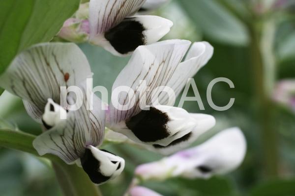 ソラマメの花の写真
