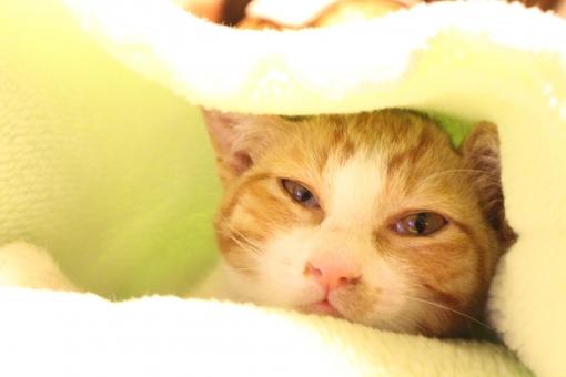 ねこ ネコ 猫 にゃんこ ニャンコ ニャン にゃん 家猫 家ねこ 子ねこ 子猫 子ネコ 寝起き 微睡む 眼差し まなざし 家族 ペット 動物 生き物 ピンクの鼻 ちんく
