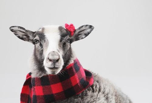 ポーズ 動物 生物 生き物 哺乳類 ほ乳類 羊 ひつじ グレー 赤ちゃん 子ども 子供  こども 十二支 干支 未 バストショット バストアップ 前向き 赤 赤色 赤い マフラー チェック 黒 花 お花 ヘアアクセサリー 耳飾り 白背景 白バック グレーバック