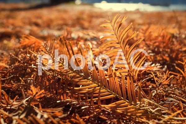 光るメタセコイアの落ち葉の写真
