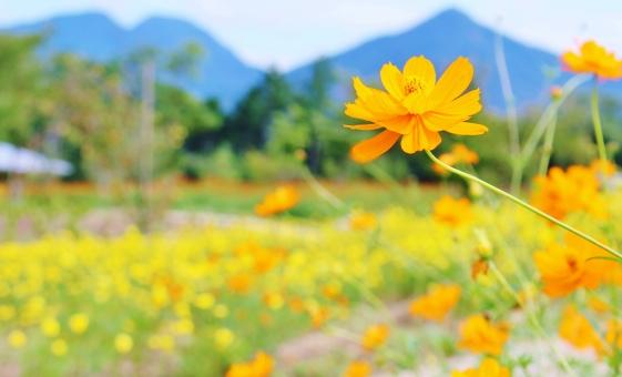 コスモス 花 植物 秋桜 秋 初秋 九月 9月 黄 黄色 yellow オレンジ オレンジ色 orange collar カラー 自然 風景 景色 景観 壁紙 背景 テクスチャ 素材 明るい 朗らか カワイイ 可愛い かわいい 綺麗 キレイ きれい 素敵 ステキ 可憐 密集 群生 花言葉 たくさん いっぱい 秋の色 autumn 愛らしい 花びら 花粉 彩り 優しい フンワリ ふんわり 陽射し 日差し
