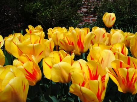 チューリップ オリンピックフレーム レンブラント系 レンブラント咲 黄色 赤 緑 春 鉢植え ガーデニング 庭 元気 レンガの壁 花 植物