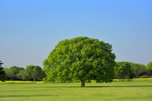 樹木 木 植物 ケヤキ 大木 青空 芝生 昭和記念公園 背景素材 自然 風景 青 新緑 エコ 環境 緑 グリーン