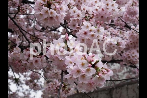 桜さくらサクラ1の写真