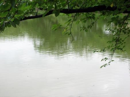 池 緑 光 深緑 池に映える 暗い 木 桜の木 桜 さくら 葉っぱ 枝 波紋 水紋 水面 反射 輝き リラックス リラクゼーション 安らぎ やすらぎ テキストスペース コピースペース 背景 壁紙 健康 美容 植物 樹木 煌き きらめき くうき マイナスイオン ナチュラル 自然 フレッシュ