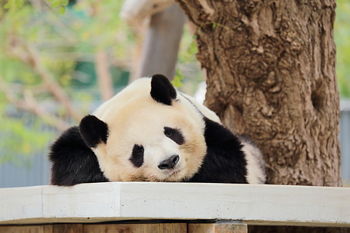 パンダ 動物 アニマル 動物園 ジャイアントパンダ 中国 可愛い キュート 珍しい Zoo 飼育 保育 飼う 生き物 生物 白 黒 ぱんだ Panda 人気 草食 竹 獰猛 キャラクター 屋外