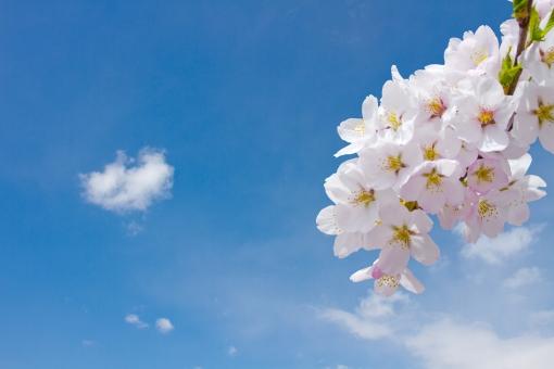 桜 さくら サクラ 櫻 ソメイヨシノ 青空 背景 合成 空 春 合格 受験 爽やか きれい 明るい 希望 未来 正月 慶事 彼岸 お彼岸 入学 卒業式 門出 卒業 入学式 旅立ち
