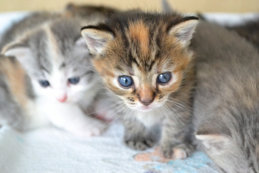 子猫 仔猫 猫 ねこ ネコ 動物 ペット 家族 二匹 顔 cat 可愛い かわいい こねこ 赤ちゃん あかちゃん かぞく 見つめる 寂しい 淋しい cats ファミリー family 毛並 どうぶつ 生き物 生きもの 猫の赤ちゃん