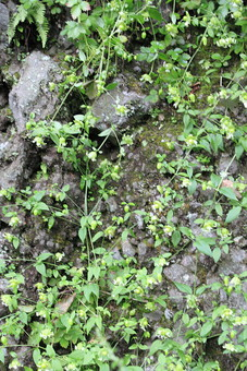 自然 風景 景色 植物 景観 日本 野生 無人 崖 岩肌 岩 石 葉 葉っぱ 緑 茎 這う 育つ 成長 伸びる 垂れる 雑草 草 苔 急 岩壁 屋外 覆う 茂る 生える 枯れる