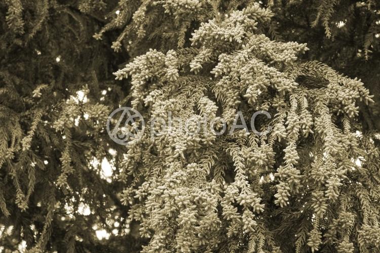 スギ花粉 セピアの写真