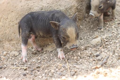 ブタ 子ブタ 黒ブタ 豚 子豚 黒豚 仔ブタ 仔豚 牧場 動物