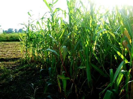 葉 葉っぱ 草 草むら 雑草 野草 緑 自然 植物 屋外  環境 エコ さわやか 爽やか  野生 自生 畑 農場 農業 一面 地面 大地 土 田畑 田んぼ