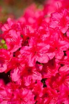 花 はな 植物 花びら お花 鮮やか 赤 マゼンタ 単色 たくさん 夏 花のイメージ 接写 アップ 自然 風景 綺麗 きれい 美しい 横位置